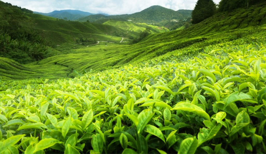 Ceylon Tea Plantation